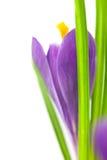 Flor do açafrão/fundo macro super com espaço da cópia Fotografia de Stock