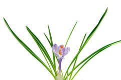 Flor do açafrão isolada Fotografia de Stock Royalty Free
