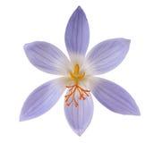 Flor do açafrão isolada Imagem de Stock