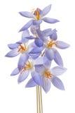 Flor do açafrão isolada Imagens de Stock