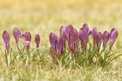 Flor do açafrão na grama Imagens de Stock Royalty Free