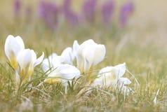 Flor do açafrão na grama Imagem de Stock Royalty Free