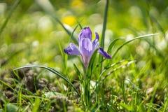 Flor do açafrão na grama molhada da mola Imagem de Stock Royalty Free