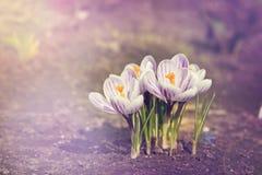 Flor do açafrão na luz do sol Foto tonificada Fotografia de Stock