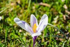 Flor do açafrão na mola Imagens de Stock Royalty Free