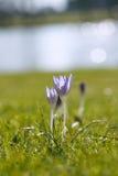 Flor do açafrão na natureza com gotas de orvalho Fotografia de Stock