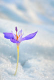 Flor do açafrão na neve Fotografia de Stock Royalty Free