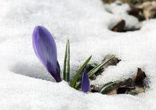 Flor do açafrão na neve Imagens de Stock