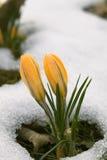 Flor do açafrão na neve Fotografia de Stock Royalty Free