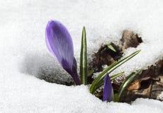 Flor do açafrão na neve Fotografia de Stock