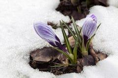 Flor do açafrão na neve Fotos de Stock Royalty Free