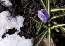 Flor do açafrão na neve Fotos de Stock