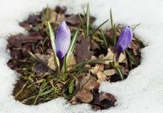Flor do açafrão na neve Foto de Stock