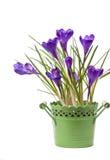 Flor do açafrão na primavera Fotos de Stock