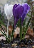 Flor do açafrão na primavera Imagens de Stock