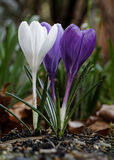 Flor do açafrão na primavera Foto de Stock