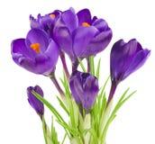 Flor do açafrão na primavera Fotos de Stock Royalty Free