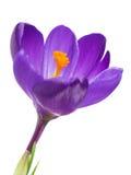 Flor do açafrão na primavera Fotografia de Stock Royalty Free