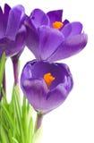 Flor do açafrão na primavera Imagens de Stock Royalty Free