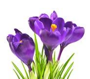 Flor do açafrão na primavera Foto de Stock Royalty Free