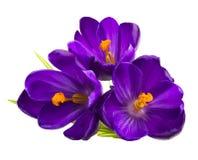 Flor do açafrão na primavera Fotografia de Stock