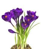 Flor do açafrão na primavera Imagem de Stock