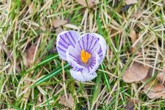 Flor do açafrão na primavera adiantada na grama verde Fotos de Stock Royalty Free