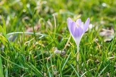 Flor do açafrão na primavera adiantada na grama verde Imagens de Stock