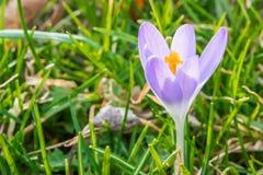 Flor do açafrão na primavera adiantada na grama verde Imagens de Stock Royalty Free