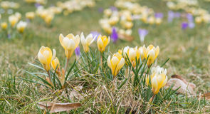 Flor do açafrão na primavera adiantada na grama verde Fotos de Stock