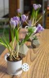 Flor do açafrão na tabela Imagens de Stock Royalty Free