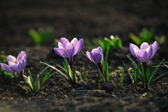 Flor do açafrão no campo Imagem de Stock