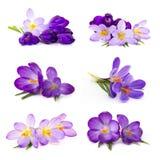 Flor do açafrão no fundo branco Imagem de Stock Royalty Free