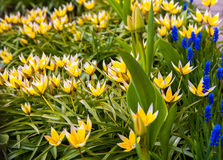 Flor do açafrão no jardim, na mola adiantada, na flor bonita, na flor ensolarada do dia, a amarela e a azul do açafrão Druskinink Imagem de Stock