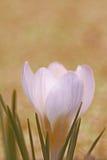 Flor do açafrão Imagens de Stock Royalty Free