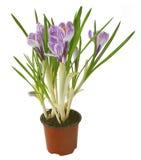 Flor do açafrão no potenciômetro isolado Imagens de Stock