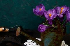 Flor do açafrão no potenciômetro molhando Mola, ferramentas de jardinagem Imagem de Stock Royalty Free