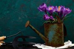 Flor do açafrão no potenciômetro molhando Mola, ferramentas de jardinagem Imagem de Stock