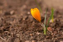 Flor do açafrão no solo Fotografia de Stock Royalty Free