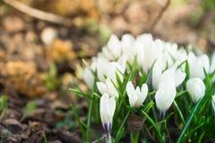 Flor do açafrão que floresce no jardim Imagens de Stock Royalty Free