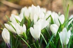Flor do açafrão que floresce no jardim Fotos de Stock