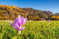Flor do açafrão que floresce no prado da montanha Foto de Stock