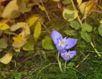 Flor do açafrão selvagem nas madeiras Imagem de Stock