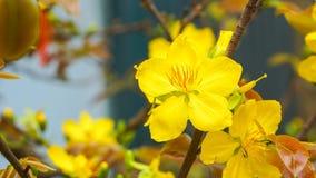 Flor do abricó Imagens de Stock Royalty Free