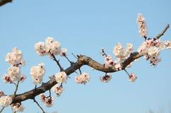 Flor do abricó Foto de Stock Royalty Free