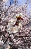 Flor do abricó imagens de stock