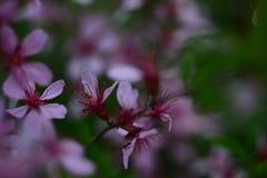flor do abricó, flores brancas, mola do russo, fundo bonito Foto de Stock