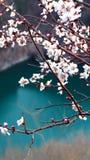 Flor do abricó na mola morna fotos de stock