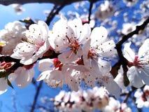 A flor do abricó imagem de stock