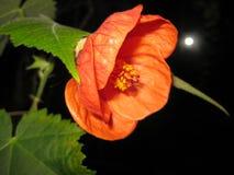Flor do Abutilon foto de stock